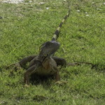 A glimpse of one of Florida's many invasive species, an iguana, found in huge numbers in the Keys and south Florida. With no natural enemies, its numbers are growing at a rapid pace. Similar problems are occurring with the Burmese python. Photo courtesy of Bob Swanson.