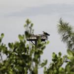 A successful osprey nest on Big Pine Key. Photo courtesy of Bob Swanson.