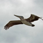 A brown pelican, once endangered, soars majestically over the waters of the Dry Tortugas. Photo courtesy of Bob Swanson.