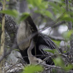 "A wonderful photo of a young anhinga in the Everglades ""feeding"" with mother's assistance. Photo courtesy of Bob Swanson."