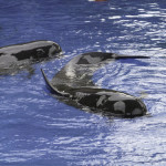 Pilot whales recovering at SeaWorld from a grounding episode in the Florida Keys. Photo courtesy of Jim Whitehouse.