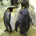 Penguins discussing the intrusion of tourists into their environment in the Antarctica exhibit at SeaWorld. Photo courtesy of Jim Whitehouse.