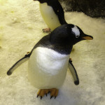 "A penguin seeking an introduction as our group visited their ""home"" behind the scenes at SeaWorld. Photo courtesy of Jim Whitehouse."