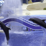 Dance of the dolphins at SeaWorld. Photo courtesy of Jim Whitehouse.