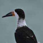 A black skimmer, one of many birds in the Dry Tortugas, a frequent stopover for many migratory bird species.