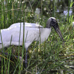 An endangered wood stork was one of many birds encountered in the Everglades.