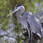 Herons of all types were commonly encountered in the Keys and all through the Everglades and Big Cypress swamps.