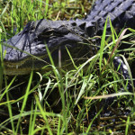 Alligators were abundant along most of the trails and roadside canals in the Everglades.