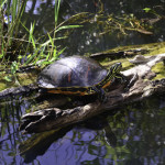 Turtles were spotted occasionally enjoying the warmth of the Florida sun.