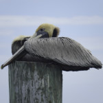 A brown pelican seemed uninterested in visitors to its resting place on top of a dock piling.